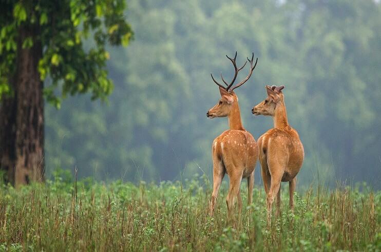 Barasingha Conservation in Kanha