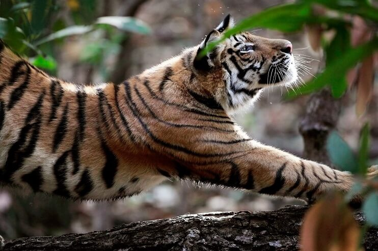 Fierce Tigers in Madhya Pradesh
