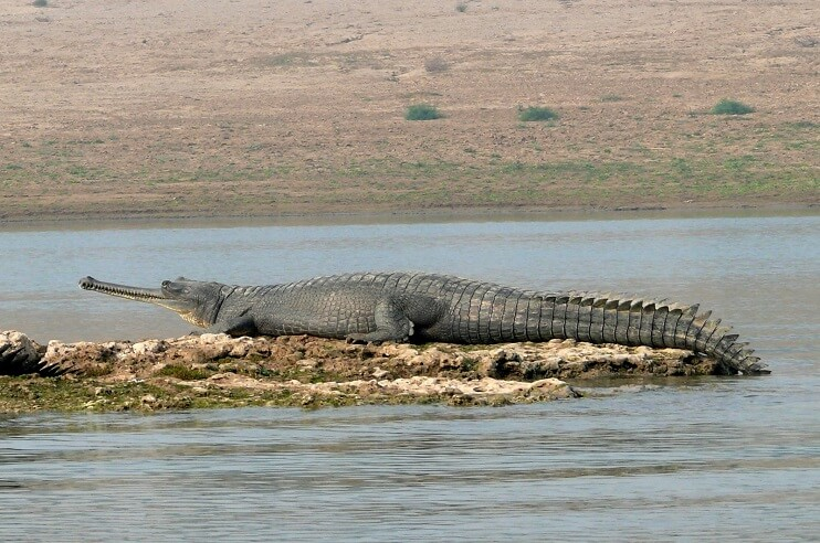 Gharial Conservation in Chambal