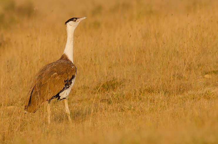 Great Indian Bustard Conservation