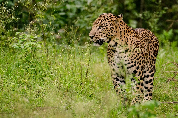 Leopard Conservation in India