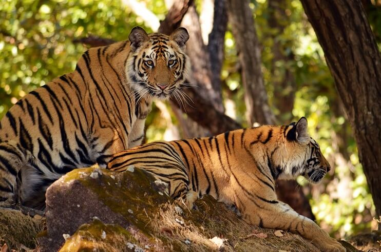 Tiger Conservation Efforts