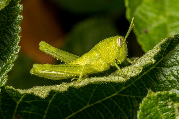 grasshoppers lush greenery