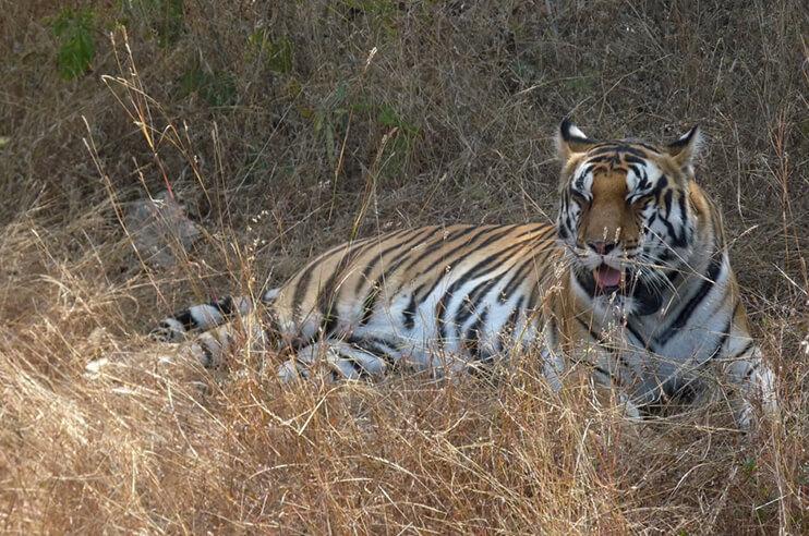 Panna Tiger Resting