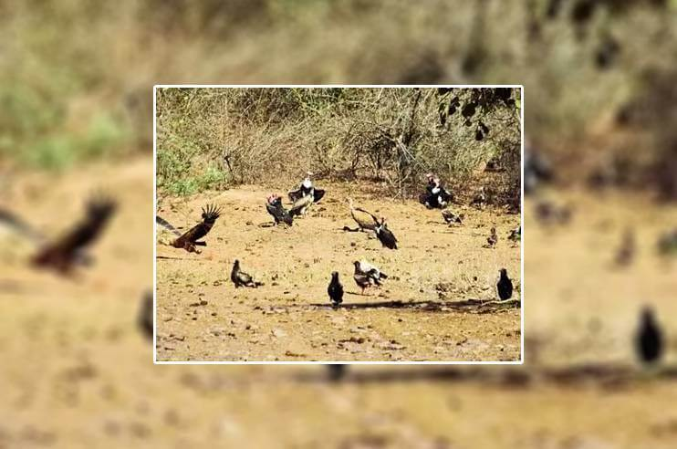 160 Vultures Found Near Panna Tiger Reserve